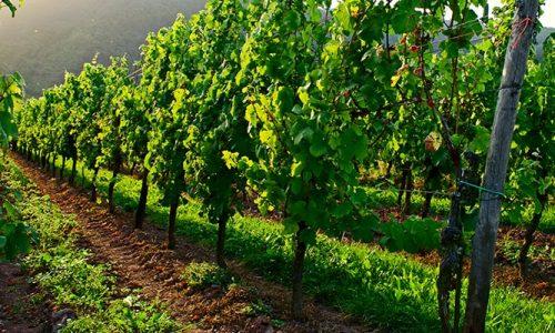 Le Vigne della Tenuta Montefantino